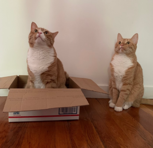 two orange cats, one sitting in a box, one sitting outside the box