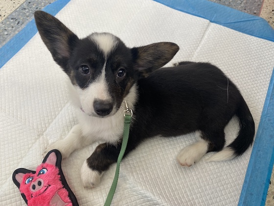 A photo of Gwen, the black and white Cardigan Welsh Corgi, sitting on a mat. She is only 11 weeks old.