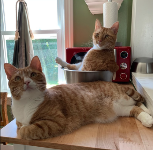 two orange cats, one sitting in a silver bowl in front of a red microwave, the other on the table in front. photo by Liberty Hardy