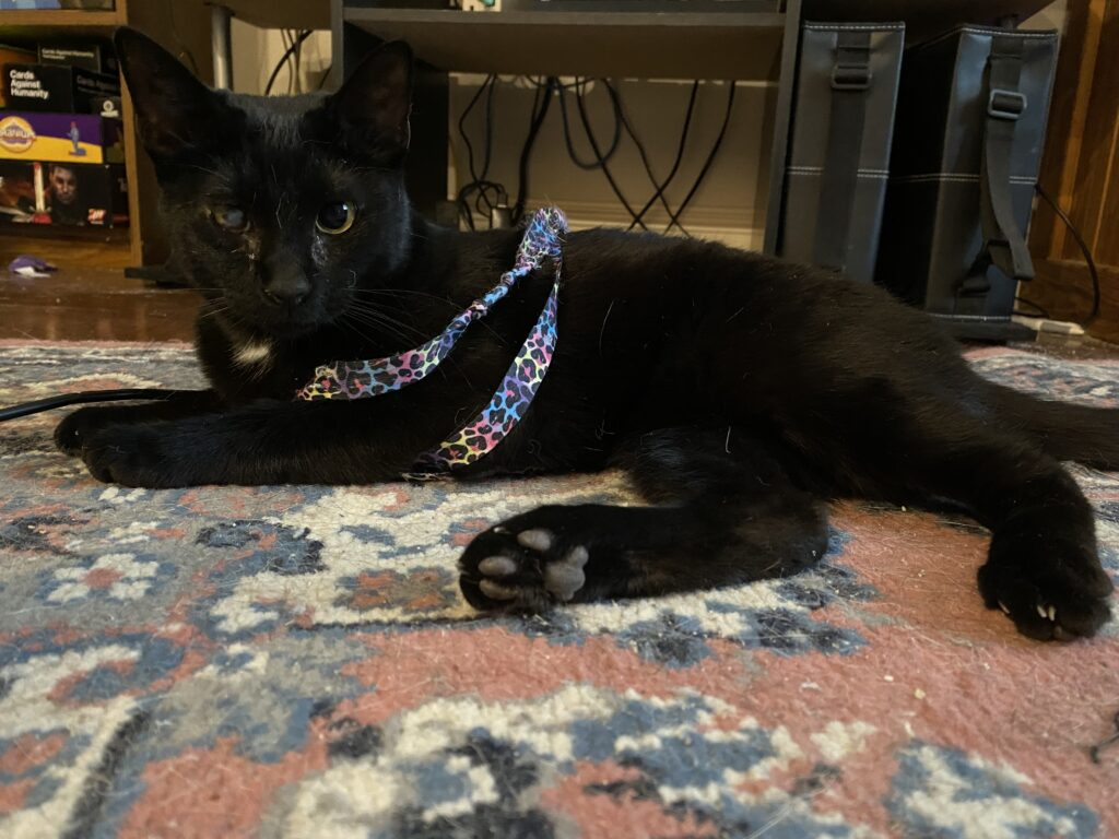 a black cat tangled in a cat toy