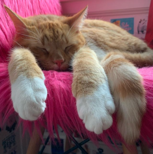orange cat sleeping on a fuzzy fluorescent pink chair, photo by Liberty Hardy