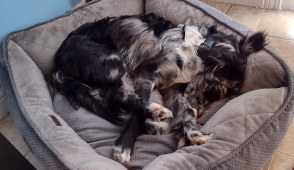 A photo of an overgrown black and white dappled puppy curled up in a dog bed