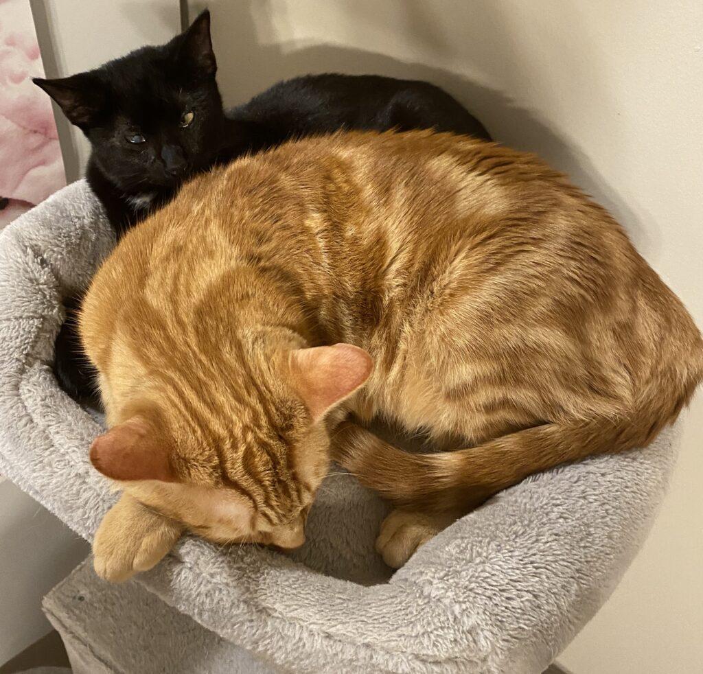 Little black cat spooning bigger orange cat
