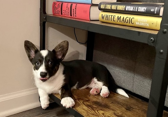 A photo of Gwen, the black and white Cardigan Welsh Corgi, sitting on the bottom shelf of a book cart.