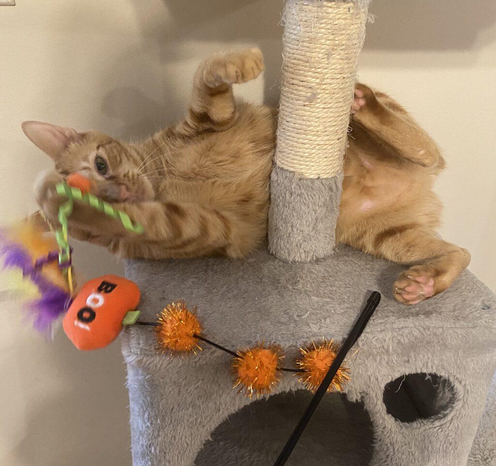 Orange cat with Halloween cat toy