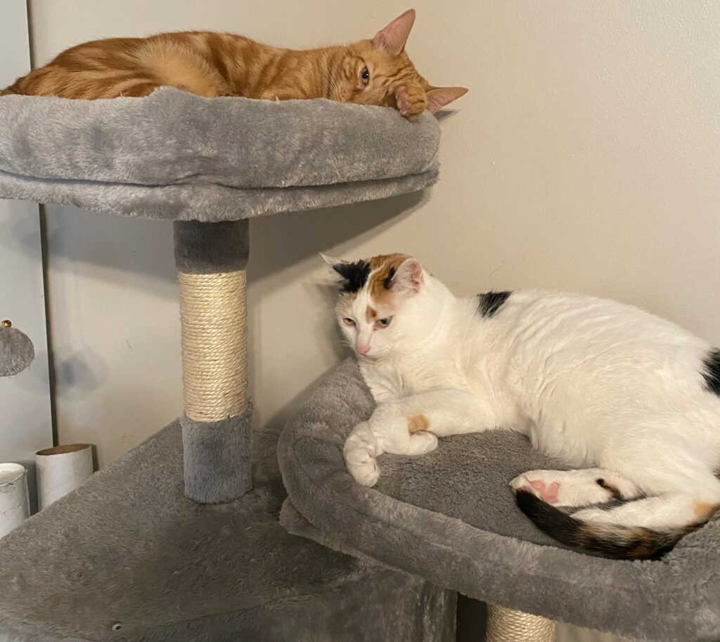 ginger cat and calico cat share a cat tree